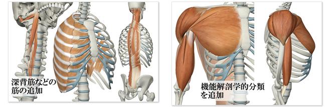 深背筋などの筋の追加 ?機能解剖学的分類を追加